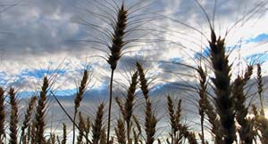 wheat against the sky