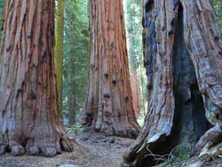 Sequoia trunks